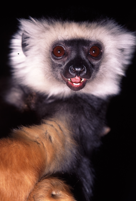 golden crowned sifaka03.jpg